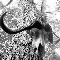 black and white buff.jpg