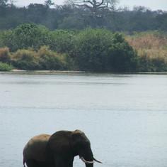 Elephant Niassa 2.jpg