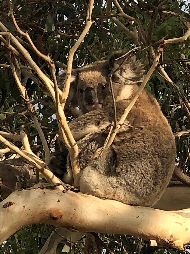 A koala in Budj Bim Park