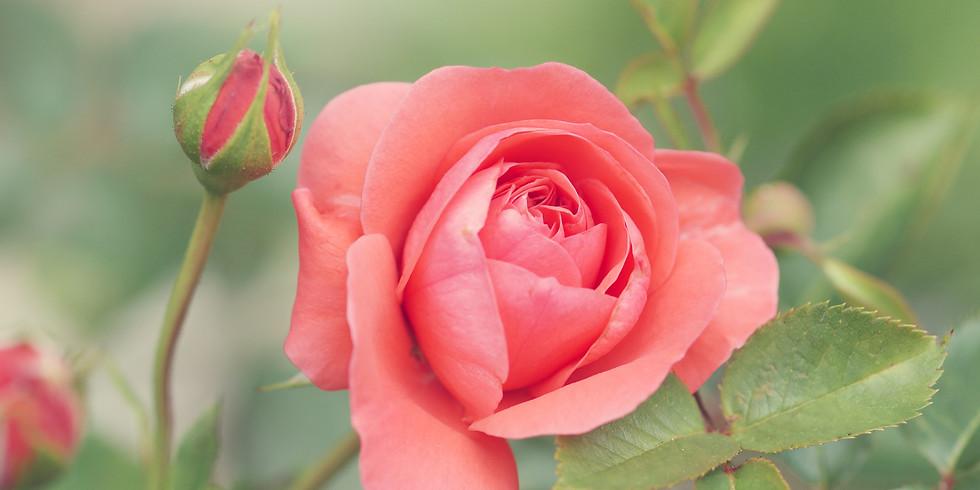 Summer: Rose (1)
