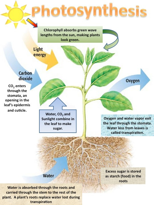 Process of Photosynthesis. From Organic Earth Tech.