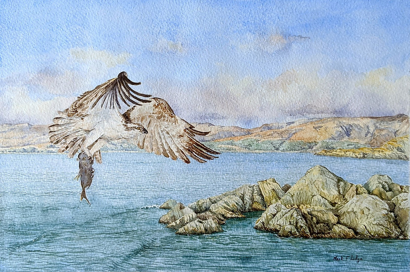 Osprey, Sound of Arisaig