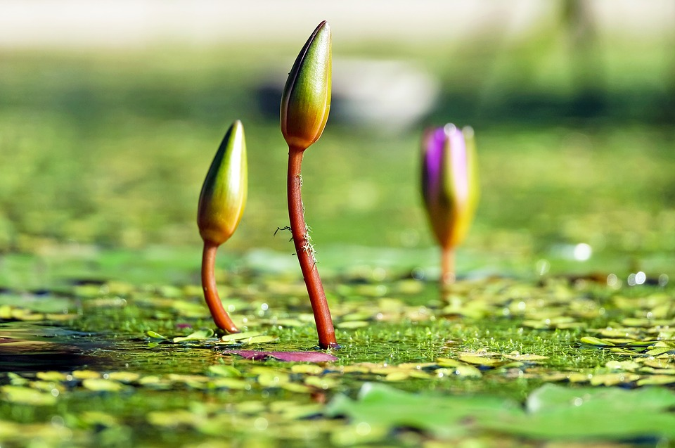 water-lilies-1388690_960_720