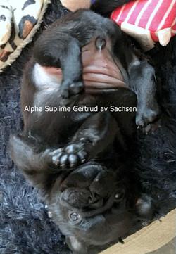 Alpha Suplime Gertrud av Sachsen