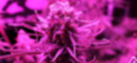 pan_PurpleHaze_80100.jpg