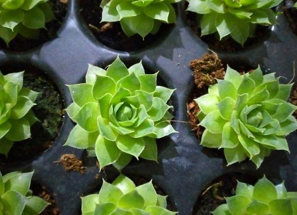 Laxmi Kamal Succulent Plant