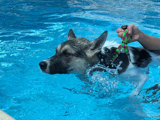 泳ぎが上達! 足腰に負担をかけずに運動 愛犬プール