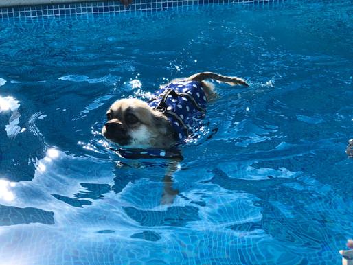 泳ぎの上手な男の子! チワワ