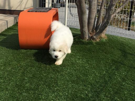 アルくんの成長! 庭遊館 看板犬 グレートピレニーズ