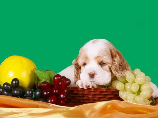 犬のブドウ中毒について