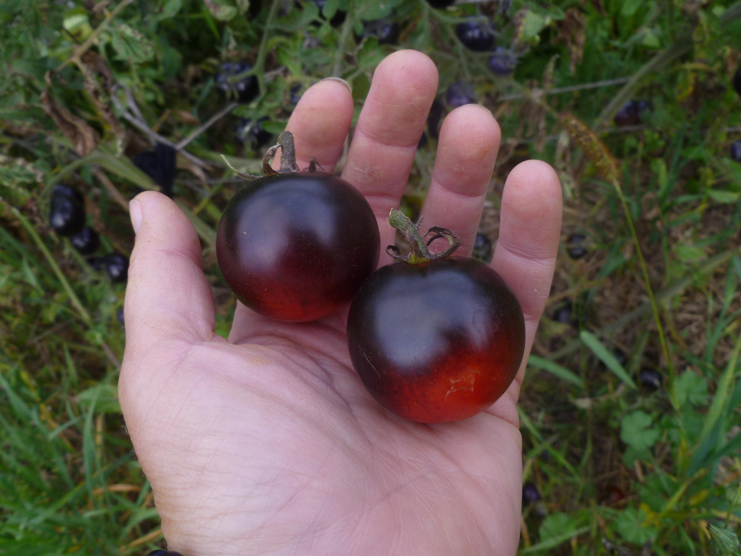 """""""Osu Blue"""" tomatoes"""