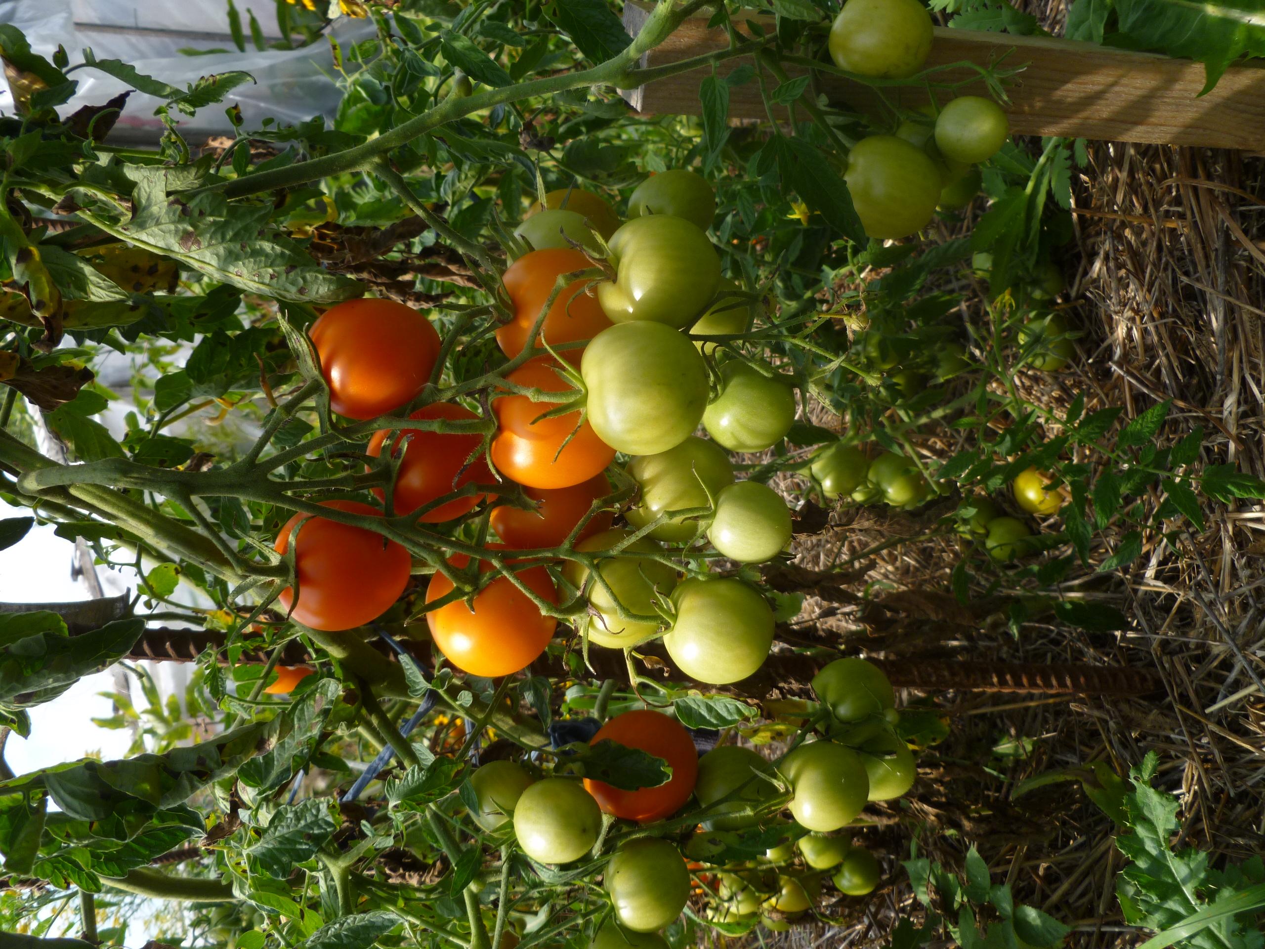 """Jaune Flamme"" tomatoes ripening"