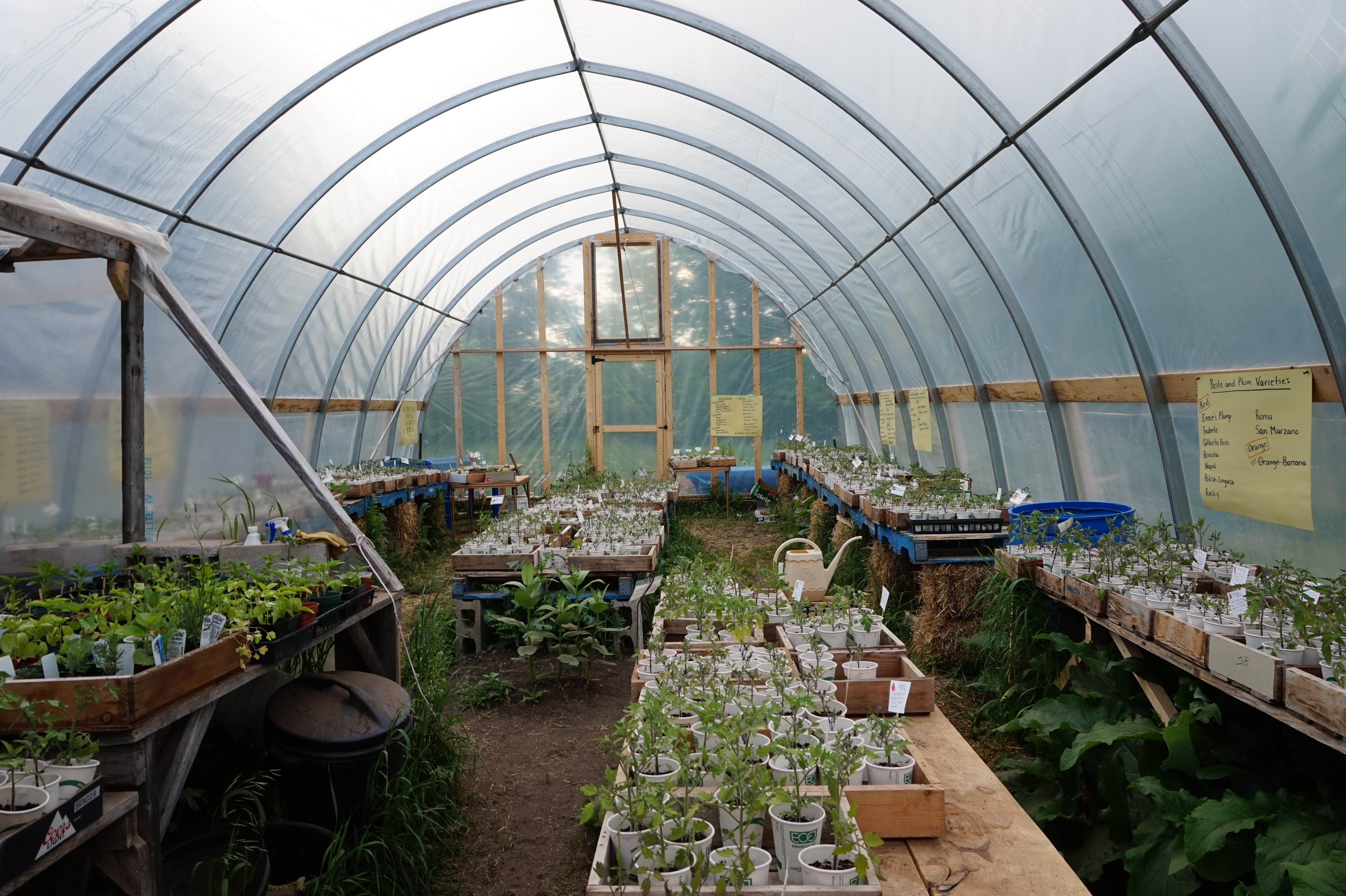 Tomato Sale in the greenhouse