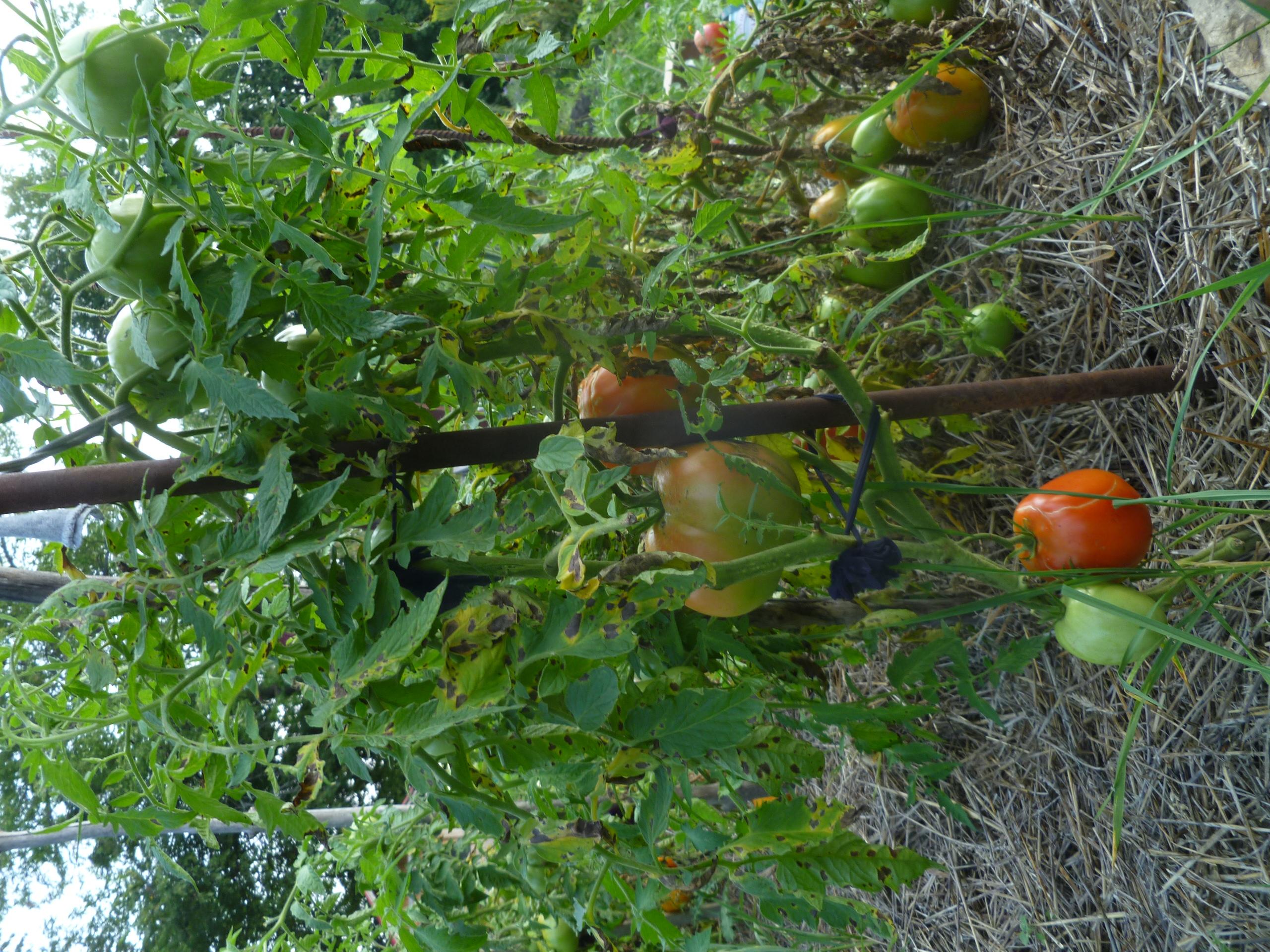 """Nips"" tomatoes on the vine"