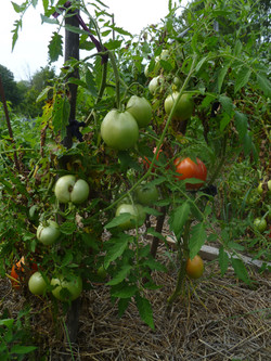 """Nips"" tomato plant"