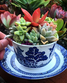 tea cup succulent arrangement.jpg