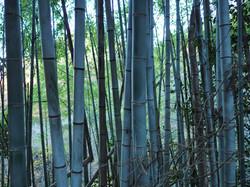 bamboo Nakasendo