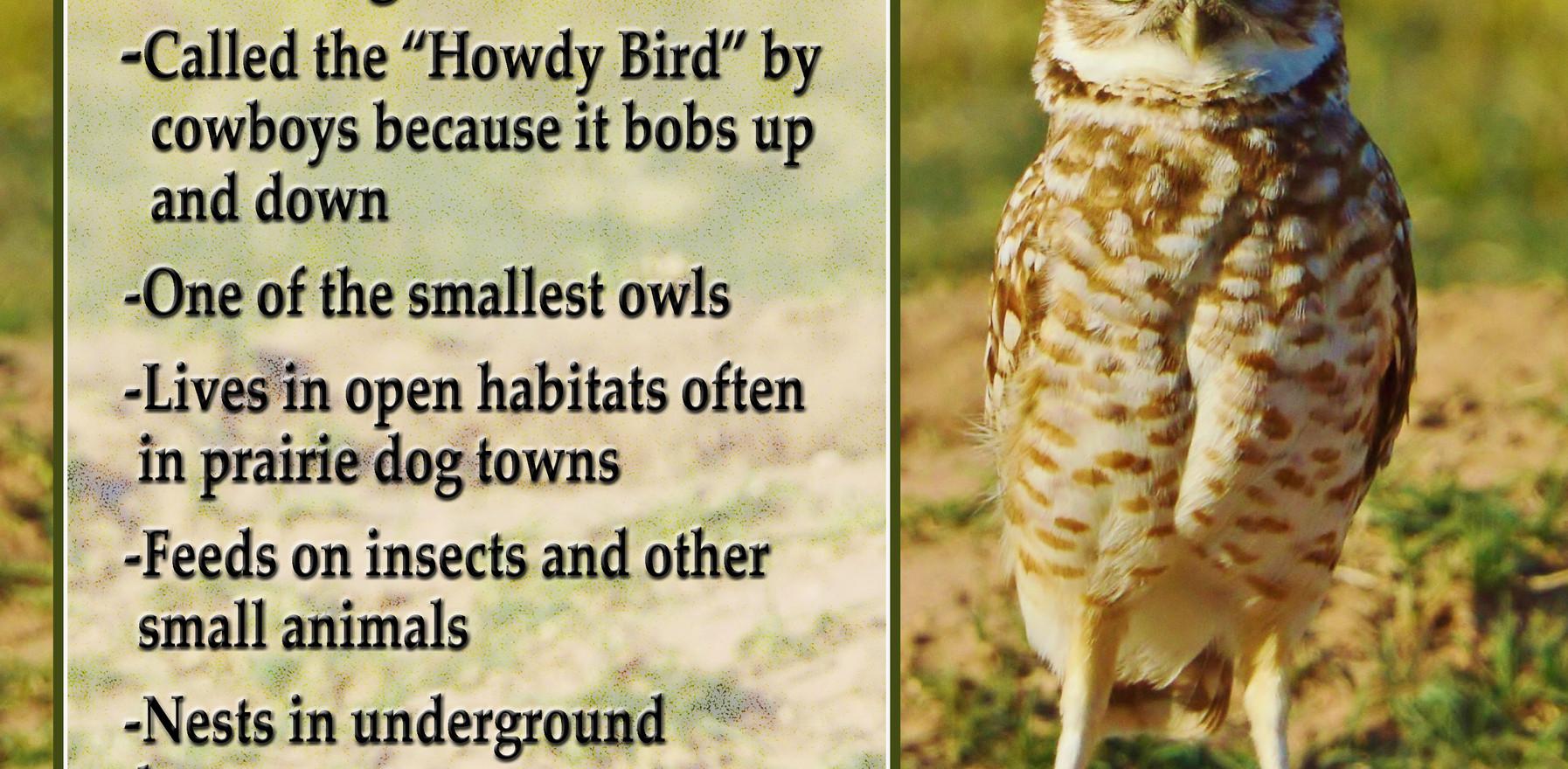 Burrowing owl fact sheet