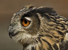 Owl-Pat Advoc.jpg