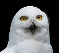 Owl-Speaking.jpg