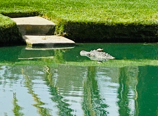 Pond Alligator