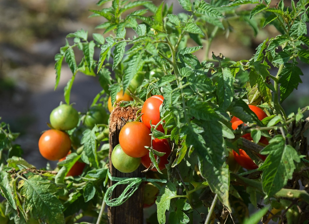 Tomatoes can grow successfully on a south-facing balcony.