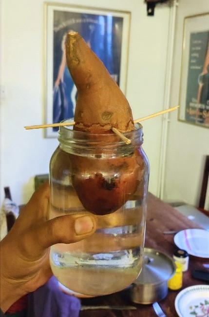 growing new sweet potatos in a jar