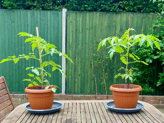 8 Top Tips for Growing Tomatoes
