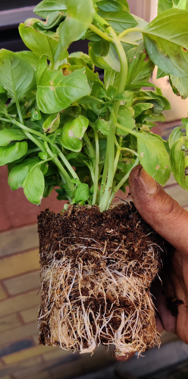Root bound Basil plant