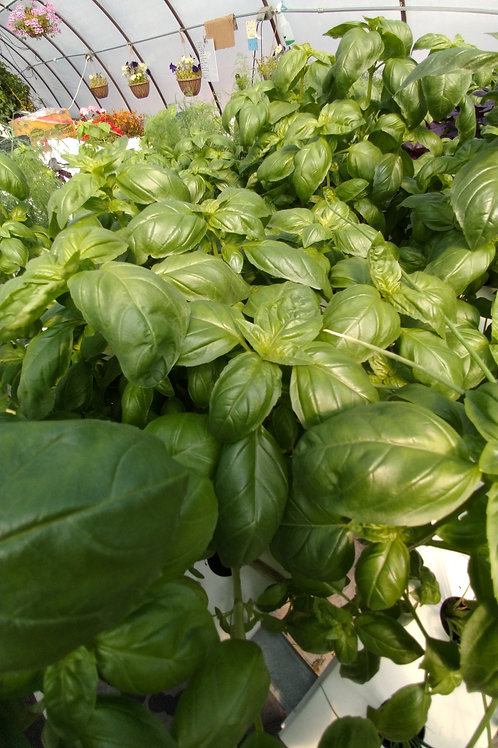 Living Basil Bunch