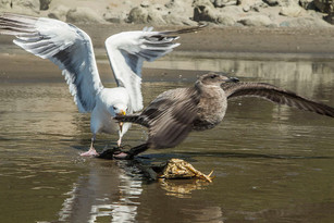 Seagulls staking a claim