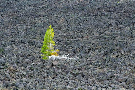 Tree in Lava Field