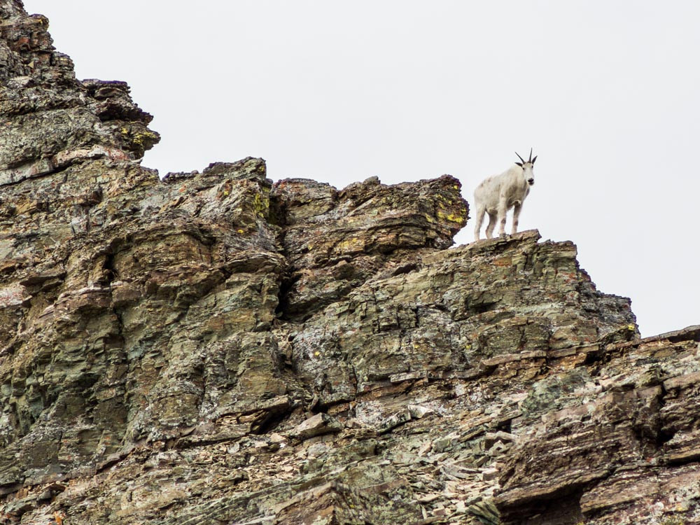 mountain goat on Ptarmigan wall