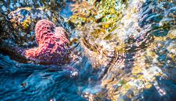 Sea star in the tide