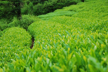 WASABi わさび 静岡 食 わさびの会 オクシズ 井川 シズマエ 在来作物