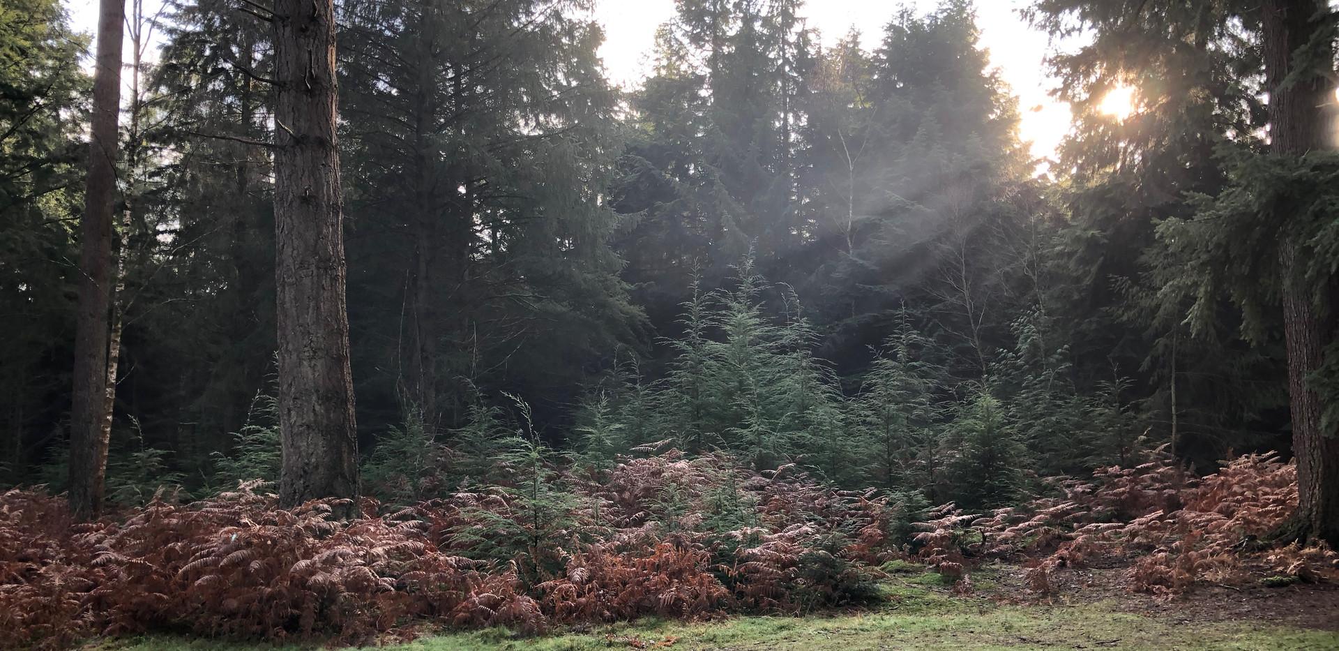 Wilverley woods