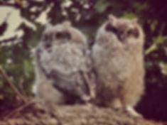 Owlets.jpg