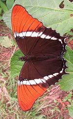 Siproeta epaphus_edited.jpg