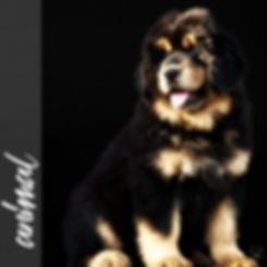 Mastiff tibétain, portrait, studio, chiot, puissance, beauté, chien de garde