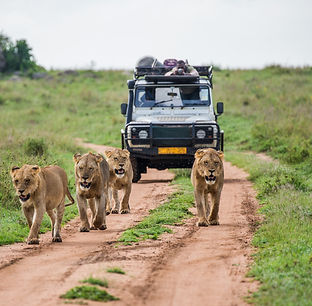 Lionesses walk along the road against the backdrop of a car with tourists. Africa. .jpg