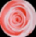 Roses éternelles roses – Atelier 19