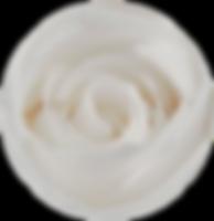 Roses éternelles blanches – Atelier 19