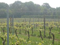 The Lewes Heath vines