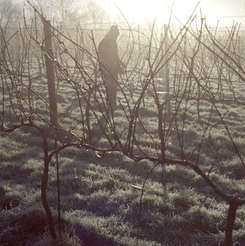 early morning pruning