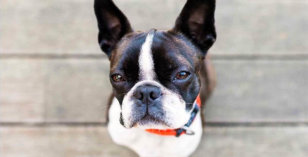 Boston-Terrier-Temperament-long_edited.j