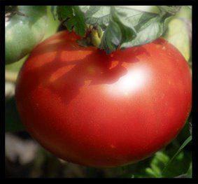 Tomate au soleil
