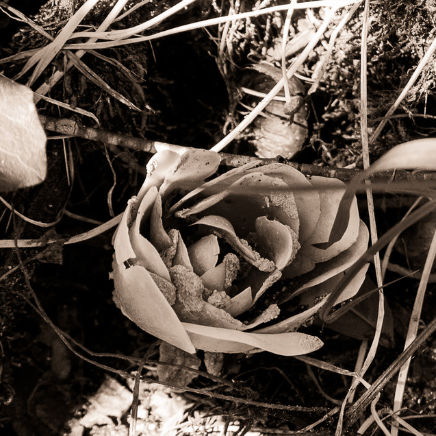 Rose biodégradable