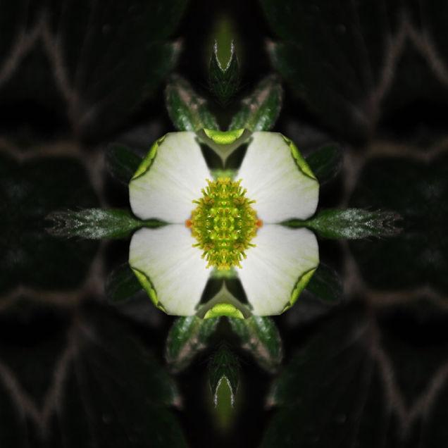 Fragum alba