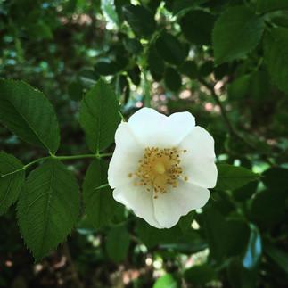 Rosa acicularis