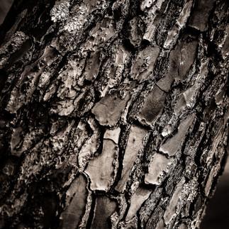 La peau de l'arbre (Le Porge 2016).jpg
